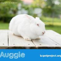 Adopt A Pet :: Auggie - Kansas City, MO