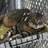 Adopt A Pet :: CJ - Bradenton, FL