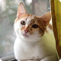 Domestic Shorthair Cat for adoption in Dallas, Texas - Muffin