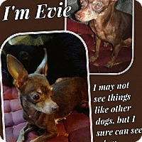 Adopt A Pet :: Evie - Dallas, TX