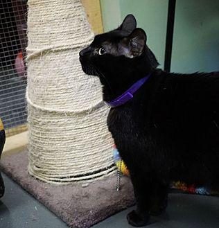 Domestic Shorthair Cat for adoption in Chisholm, Minnesota - Cinder
