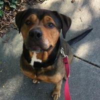 Adopt A Pet :: Chief - Oak Park, IL