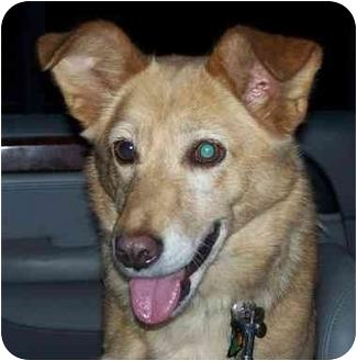 Sheltie, Shetland Sheepdog/Border Collie Mix Dog for adoption in Anderson, Indiana - Jaci