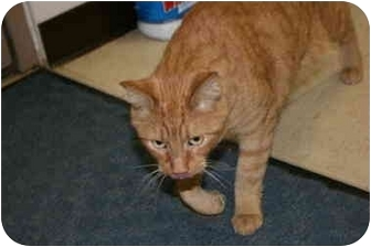 Domestic Shorthair Cat for adoption in Saint Charles, Missouri - Todd