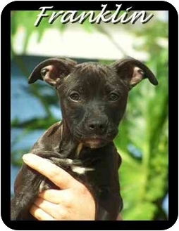 American Pit Bull Terrier Puppy for adoption in Tampa, Florida - Franklin
