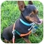 Photo 4 - Miniature Pinscher Mix Dog for adoption in Los Angeles, California - Lolita (Lucy)