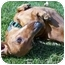 Photo 2 - Dachshund Dog for adoption in Geneva, Illinois - Oscar