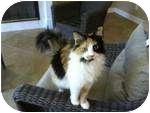 Calico Cat for adoption in Jacksonville, Florida - Dalilah
