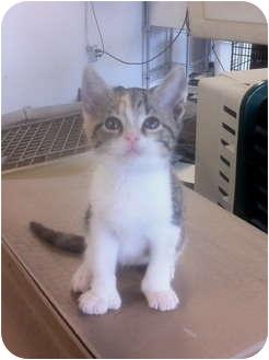 Domestic Shorthair Kitten for adoption in Fairmount, Georgia - Hazel