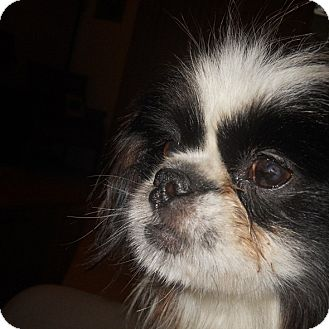 Japanese Chin/Shih Tzu Mix Dog for adoption in Brooksville, Florida - BUTTONS- Adopted!!
