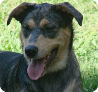 Australian Shepherd/Catahoula Leopard Dog Mix Dog for adoption in Mount Ida, Arkansas - Riley