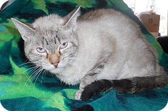 Siamese Cat for adoption in batlett, Illinois - Blue eye Madonna $29