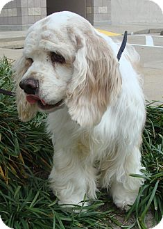 Cocker Spaniel Dog for adoption in Sugarland, Texas - McCabe