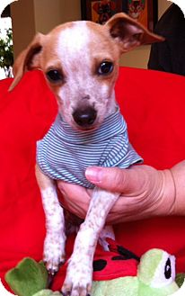 Rat Terrier Mix Puppy for adoption in El Cajon, California - FRECKLES (NY)
