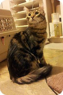 Domestic Longhair Kitten for adoption in Chandler, Arizona - Ringo