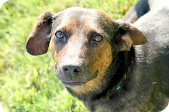 Dachshund Mix Dog for adoption in Austin, Texas - Hilly