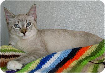 Siamese Cat for adoption in Colville, Washington - Doger