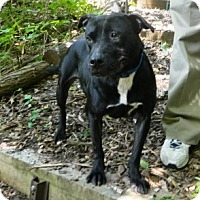 Adopt A Pet :: Ebony - Port Washington, NY