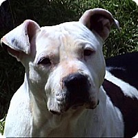 American Bulldog/Pit Bull Terrier Mix Dog for adoption in Tyler, Texas - AA-Darcy