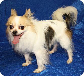Chihuahua Dog for adoption in Jackson, Michigan - Beaner
