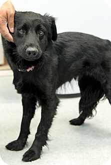 Flat-Coated Retriever Mix Dog for adoption in Martinsville, Indiana - Shiloh