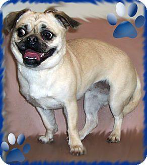 Pug Dog for adoption in Kirkland, Quebec - Nika