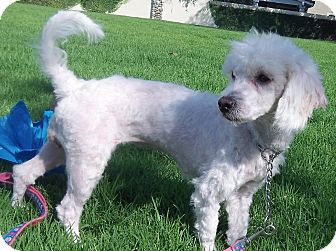 Poodle (Miniature) Mix Dog for adoption in Irvine, California - Penelope-WATCH MY VIDEO!!!!