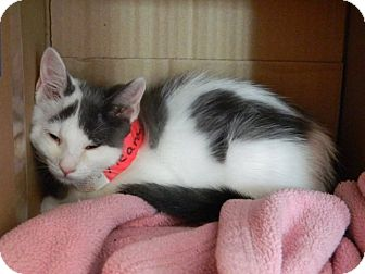 Domestic Shorthair Cat for adoption in The Colony, Texas - Meara