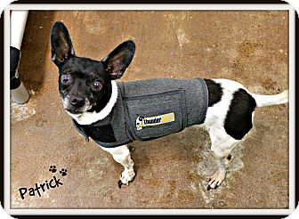 Chihuahua/Rat Terrier Mix Dog for adoption in Dunkirk, New York - Patrick