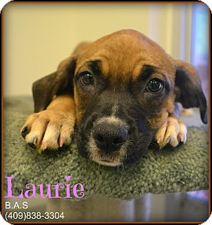 Labrador Retriever/Black Mouth Cur Mix Dog for adoption in Beaumont, Texas - Laurie
