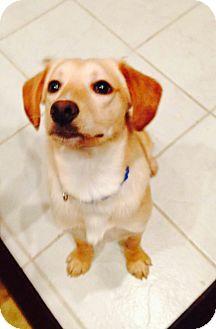 Labrador Retriever Mix Dog for adoption in Lewisville, Indiana - Buck
