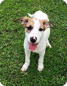 Anatolian Shepherd Mix Puppy for adoption in Beaumont, Texas - MarshaMallow