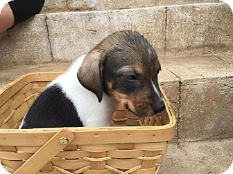 Beagle/Treeing Walker Coonhound Mix Puppy for adoption in Gallatin, Tennessee - Seal