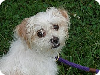 Shih Tzu/Maltese Mix Dog for adoption in Haggerstown, Maryland - Shaggy