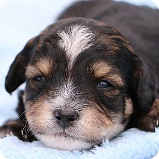 Bichon Frise/Cavalier King Charles Spaniel Mix Puppy for adoption in La Costa, California - Dexter