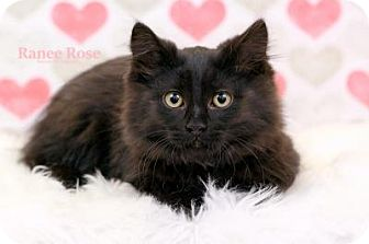 Domestic Longhair Kitten for adoption in Sterling Heights, Michigan - Janja