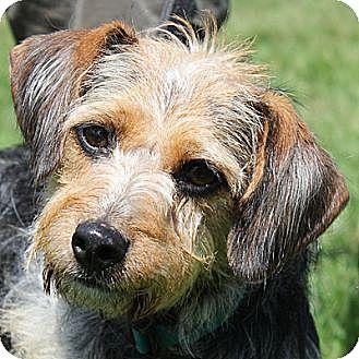 Tibetan Terrier/Beagle Mix Dog for adoption in Huntley, Illinois - Alexis