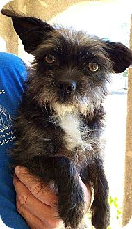 Affenpinscher Mix Dog for adoption in Tijeras, New Mexico - Missy