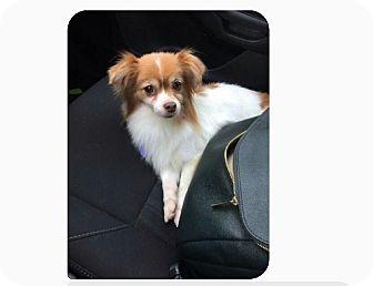 Papillon/Pomeranian Mix Dog for adoption in conroe, Texas - Puddin