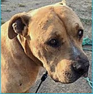 Pit Bull Terrier Mix Dog for adoption in Vista, California - Delgado