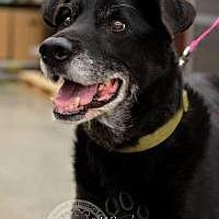 Labrador Retriever Mix Dog for adoption in Salt Lake City, Utah - Cole