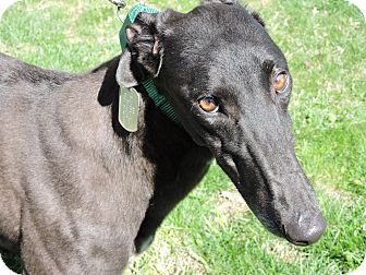 Greyhound Dog for adoption in Canadensis, Pennsylvania - Mini