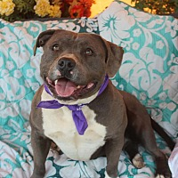 American Staffordshire Terrier Mix Dog for adoption in Toluca Lake, California - Kayla