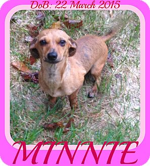 Dachshund Mix Dog for adoption in Jersey City, New Jersey - MINNIE