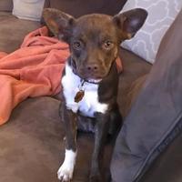 Adopt A Pet :: Moxie - Denver, CO