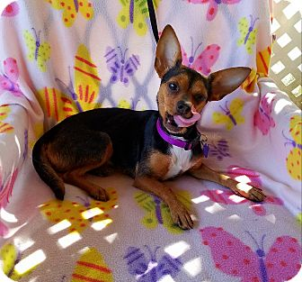 Chihuahua Mix Dog for adoption in Jersey City, New Jersey - Neoma