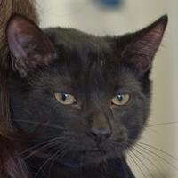 Adopt A Pet :: Athena - Elk Grove Village, IL