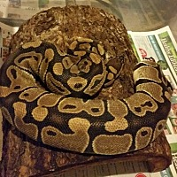 Snake for adoption in Plainfield, Indiana - Bangle