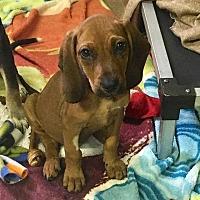 Adopt A Pet :: Umber - Thompson, PA