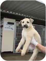 Labrador Retriever/Shepherd (Unknown Type) Mix Puppy for adoption in Hammonton, New Jersey - Matilda